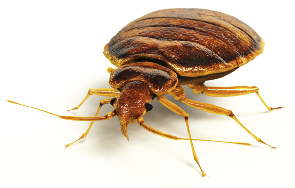 Canada Bed Bugs - Bed Bugs Creepy