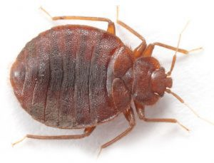 bed bug up close that needs to be controlled