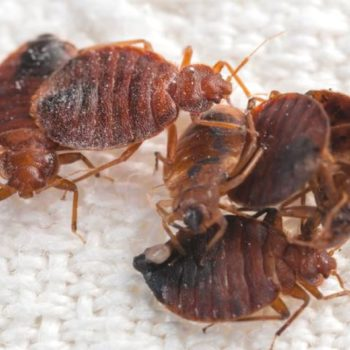 a group of bed bugs playing together