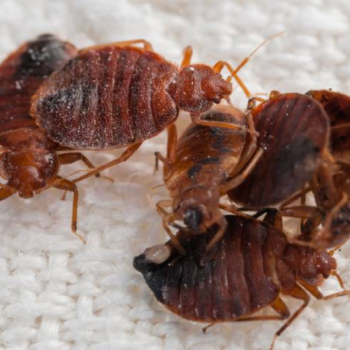 bed-bugs-vancouver