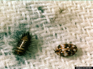 carpet beetle that is not a bed bug