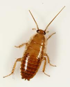 cockroaches that get mistaken for bed bugs